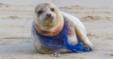Kampf vor der Kamera: Für das Robbenmädchen kommt jede Hilfe zu spät