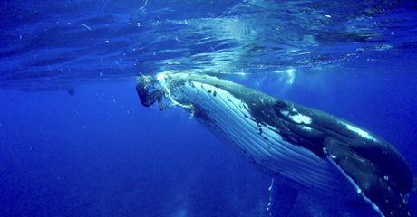 Buckelwal rettet Taucherin vor einem Tigerhai