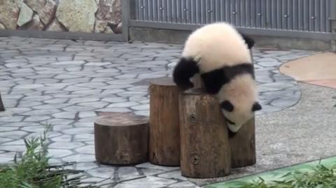 Diese Panda-Bärchen sind wahre Purzelbaumspezialisten...
