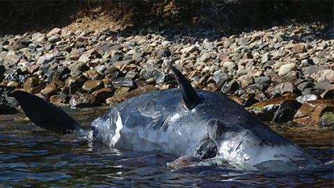Schwangerer Wal: Aus einem traurigen Grund mussten Mutter und Kind sterben