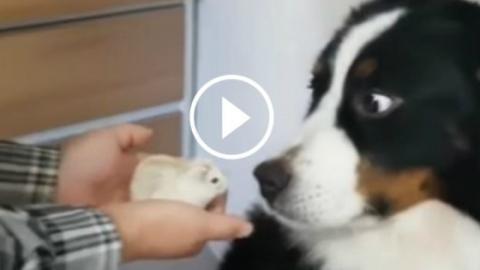 Die Reaktion und die Mimik dieses Hundes gegenüber einem kleinen Hamster belustigen das Netz