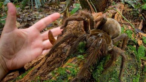 Wissenschaftler stößt auf die größte Spinne der Welt