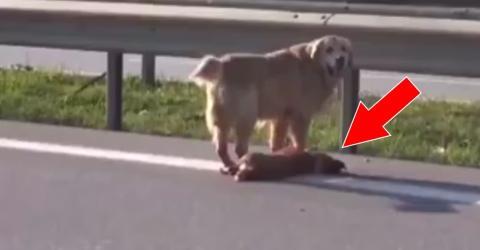 Golden Retriever hilft und beschützt seinem überfahrenen Hundefreund