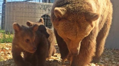 Misshandelte Bären: Kamerateam filmt herzzerreißende erste Minuten in Freiheit