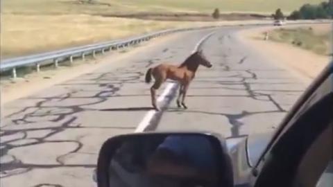 Er rettet ein Fohlen auf der Straße und bringt es seiner Mutter zurück