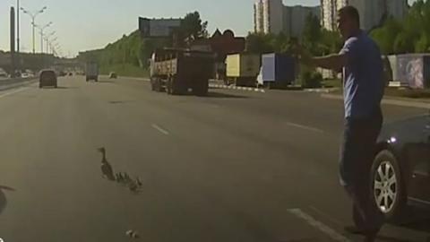 Dieser Mann rettete einen Entenfamilie auf der Autobahn