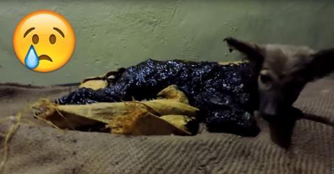mit Teer übergossener Hund wurde gerettet