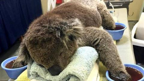 Dieser entzückende Koala wäre nach einer Verbrennung nicht alleine zurechtgekommen. Schauen Sie sich an, was dann Wunderbares passiert!