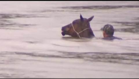 Überschwemmung: Er riskiert sein Leben, um Pferde vorm Ertrinken zu retten