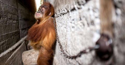 Tierschützer entdecken angekettetes Orang-Utan-Baby: Der Grund macht sie sprachlos