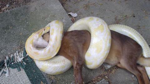 Im Würgegriff dieser Pythonschlange war dieser Hund drauf und dran zu sterben. Doch seine Herrchen haben all ihren Mut zusammengenommen...