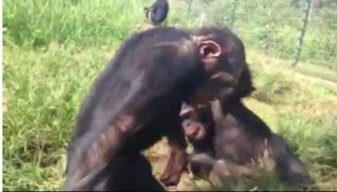 Dieser aus der Gefangenschaft gerettete Babyschimpanse sieht den Himmel zum ersten Mal seit langer Zeit ...