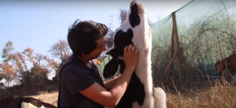 Diese Kühe sind einem sicheren Tod entronnen und dürfen jetzt Streicheleinheiten genießen