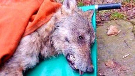 Diese Männer tun alles, um einen Wolf zu retten, der an Hypothermie leidet.
