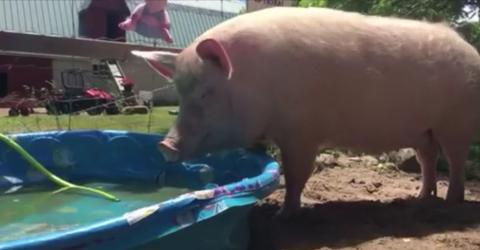 Sie fühlt sich sauwohl in ihrem Planschbecken! Auch Schweine planschen gern, wenn die Sonne brennt...