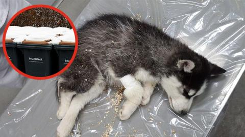 An Silvester: Husky-Welpe einfach in den Müll geschmissen!