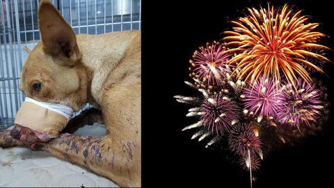 Silvester: Kinder stecken dem Hund einen Böller in den Mund