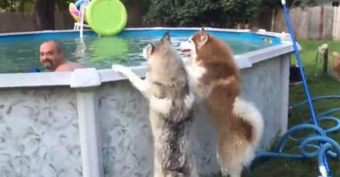 Als ihr Herrchen nicht zum Spielen kommt, rächen sich die Huskys auf geniale Art