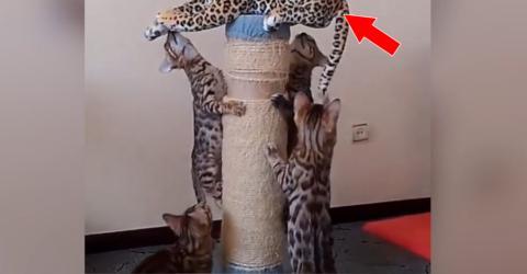Diese kleinen Bengalkätzchen haben ein neues Spielzeug gefunden...