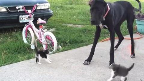 Kätzchen treffen auf eine riesige Dogge. Doch die reagiert ganz anders, als erwartet!