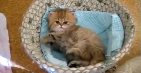 Nachdem es aufwacht, will dieses Kätzchen etwas ganz Bestimmtes!