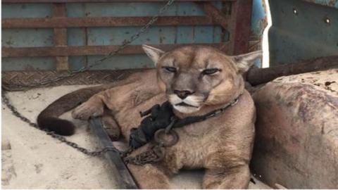 Spektakuläre Rettungsaktion: Ein Zirkus-Puma wird nach 20 Jahren von seinen Ketten befreit