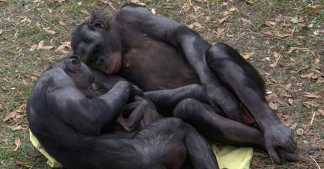 Forscher filmen unglaublichen Vorgang bei Schimpansen-Geburt. Er stellt uns Menschen in Frage!