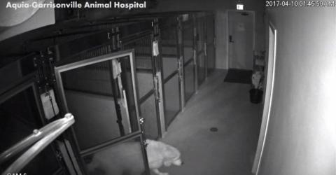 Eine Überwachungskamera der Tierklinik filmt, was dieser Schäferhund alles so anstellt. Unglaublich!