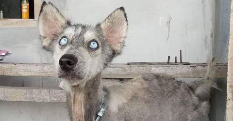 Mann rettet Hund: 10 Monate später sieht der Husky ganz anders aus