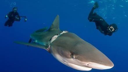 Hai mit Seil um den Hals: Bei der Befreiung passiert den Tauchern etwas Unerwartetes!