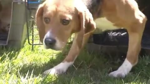 Tierschützer filmen Laborhunde, die zum ersten Mal Tageslicht sehen