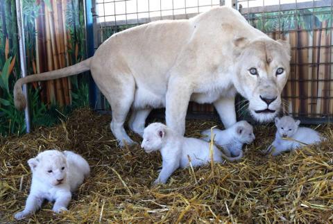 Er geht in ein Tiergehege, indem eine Löwenmutter über ihre Jungen wacht