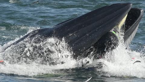 Wal verschluckt deutschen Taucher