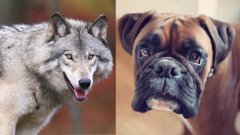 Hund vs Wolf: Dieses Tier ist das sozialere
