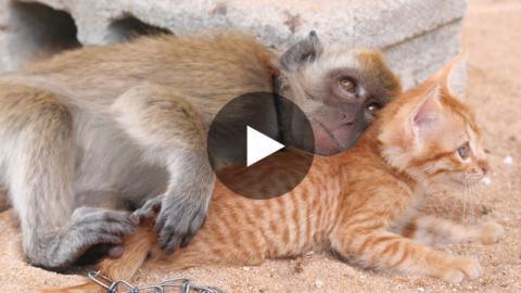 Ein Affe und ein Kätzchen sind einfach unzertrennlich.