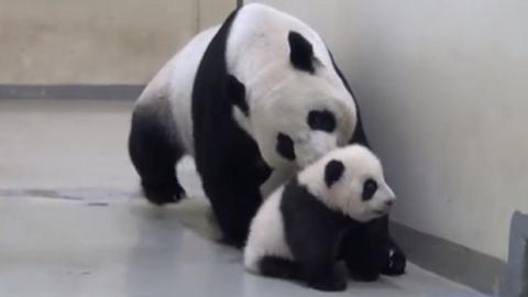 Dieser Baby-Panda weigert sich zu schlafen. Seine Mutter wird aber durchgreifen.