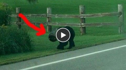 Ein Monat trug dieser Bär einen Airbag auf dem Kopf. Um ihn davon zu befreien, wurde das Unmögliche möglich gemacht.
