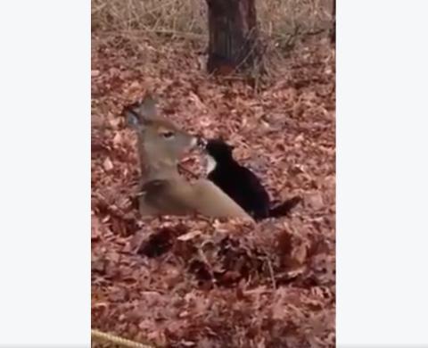 Ein unglaublicher Moment voller Zärtlichkeit zwischen einem Reh und einer Katze.