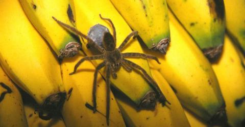 Lidl: Kundin entdeckt Giftspinne zwischen den Bananen. Ihre Reaktion geht um die Welt