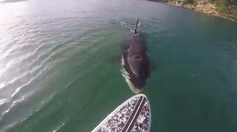 Unerwartete Begegnung eines Stehpaddlers mit einem Killerwal