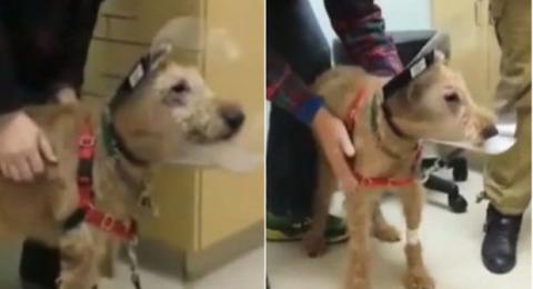 Dank einer Operation hat dieser Hund sein Sehvermögen wiedererlangt. Seine Reaktion gegenüber seines Herrchens ist rührend
