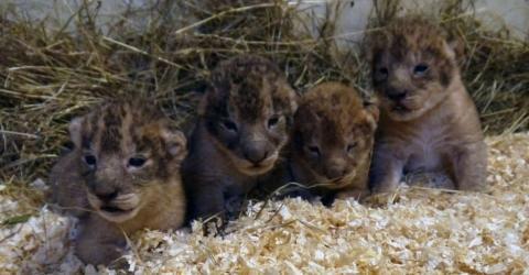 """Löwenbabys sind """"Überschusstiere"""": Zoo schockt mit grausamen Machenschaften"""