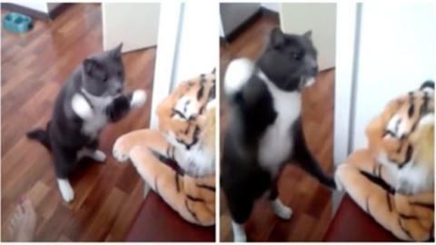 Diese Katze boxt mit einem Plüschtiger