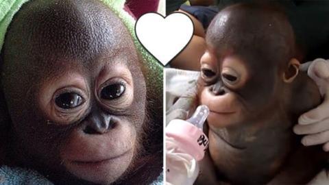 Dieses Orang-Utan Baby wurde von seinem Besitzer gequält, doch als es gerettet wird, passiert etwas wirklich bewegendes!