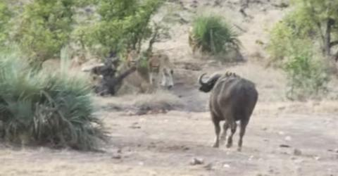 Gegen die Löwen hat das Elefantenbaby keine Chance - doch es kommt ungeahnte Hilfe (Video)
