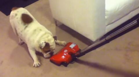 Diese Bulldogge hat eine witzige Reaktion gegenüber dem Staubsauger...