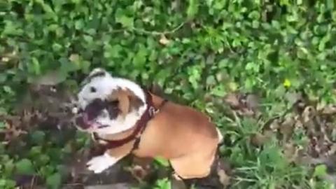 Die lebenslustigste Bulldogge der Welt