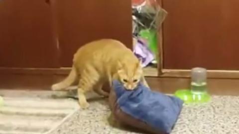 Diese Katze versucht vergeblich, ihr Lieblingskissen mit in die Schublade zu nehmen, in der sie schlafen will