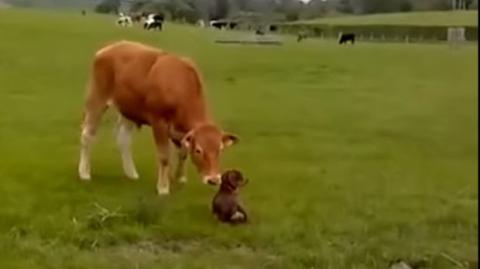 Erste Begegnung eines Hundes mit einer Kuh... Das Erstaunen ist groß!