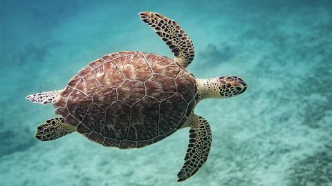 Trauriges Schauspiel: Diese Meeresschildkröte will ausgerechnet hier Eier ablegen